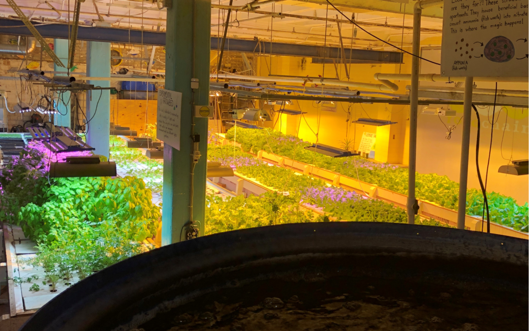 FoodChain's Aquaponics Farm: An Intern's Perspective